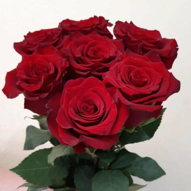 Роза красная 7шт